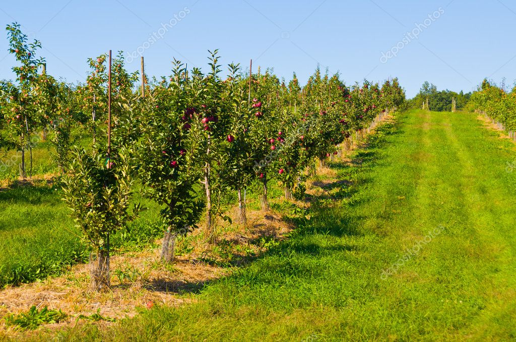 depositphotos_9455087-stock-photo-apple-orchard-min